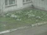 13 мая 2013 Мальвочки снежком припорошило